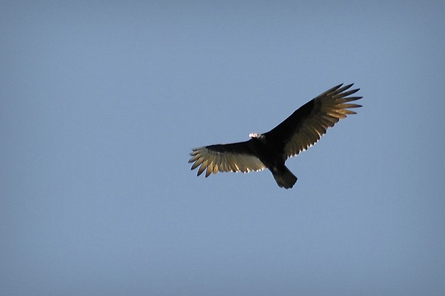 Rapace Nord-Ouest